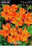 alstroemeria-orange-king-1-stk-angebot!!!.jpg