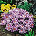 crocus-mehrblutige-king-of-striped-100-stk-angebot!!!-zwiebel-stute-samen.jpg