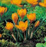 crocus-orange-monarch-1-stk-angebot!!!-zwiebel-stute-samen.jpg