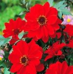 dahlia-dahlie-bishop-of-llandaff-1-pc-angebot!!!.jpg