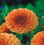 dahlia-dahlie-lupin-orange-1-pc-angebot!!!.jpg