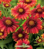 gaillardia-grandiflora-gaillardia-arizona-red-shades-1-pc-angebot!!!.jpg