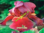 iris-germanica-red-zinger-1-stk-angebot!!!.jpg
