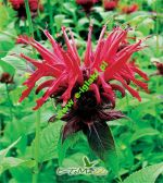 monarda-cambridge-scarlet-1-stk-angebot!!!.jpg