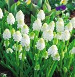 muscari-white-magic-100-stk-angebot!!!-zwiebel-stute-samen.jpg