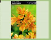 alstroemeria-yellow-princess-1-szt.jpg