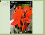 canna-kanna-evening-star-1-stk.jpg