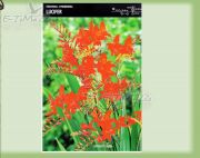 crocosmia-lucifer-25-pc.jpg