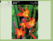 crocosmia-meteor-5-pc.jpg