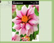 dahlia-dahlie-edge-of-joy-1-pc.jpg