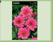 dahlia-dahlie-fascination-1-pc-angebot!!!.jpg