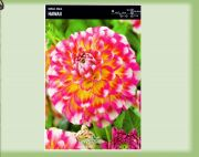 dahlia-dahlie-hawaii-1-pc-angebot!!!.jpg