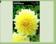 dahlia-dahlie-kelvin-floodlight-1-pc-angebot!!!.jpg