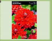 dahlia-dahlie-mister-optimist-1-pc-angebot!!!.jpg