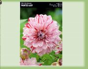 dahlia-dahlie-painted-lady-1-pc-angebot!!!.jpg