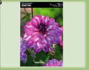 dahlia-dahlie-seduction-1-pc-angebot!!!.jpg