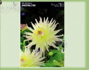 dahlia-dahlie-shooting-star-1-pc.jpg