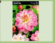 dahlia-dahlie-twilight-time-1-pc-angebot!!!.jpg