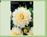 dahlia-dahlie-white-perfection-1-pc-angebot!!!.jpg
