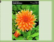 dahlia-dalia-color-spectacle-1-szt.jpg