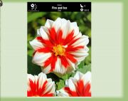 dahlia-dalia-fire-and-ice-1-szt.jpg