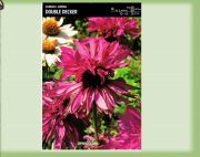 echinacea-echinacea-double-decker-1-pc-angebot!!!.jpg