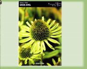 echinacea-echinacea-green-jewel-1-pc-angebot!!!.jpg
