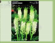 eucomis-autumnalis-1-pc.jpg