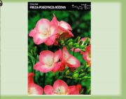 fressia-single-rosa-10-stk-angebot!!!.jpg