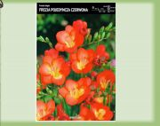 fressia-single-rot-10-stk-angebot!!!.jpg