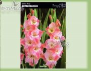 gladiolus-–-gladiolen-you-two-frizzle-5-stk.jpg