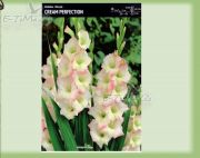 gladiolus-gladiole-creme-perfection-5-pc.jpg