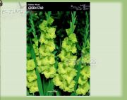 gladiolus-gladiole-green-star-5-pc.jpg