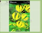 gloriosa-lutea-1-pc.jpg