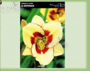 hemerocallis-lilie-el-desperado-1-pc.jpg