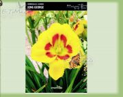hemerocallis-lilie-king-george-1-stk.jpg