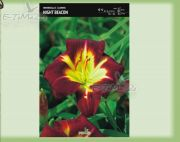 hemerocallis-lilie-nacht-beacon-1-pc.jpg
