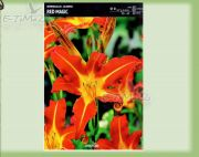 hemerocallis-lilie-rot-magic-1-stk.jpg