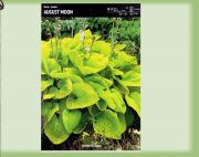 hosta-august-moon-1-stk-angebot!!!.jpg