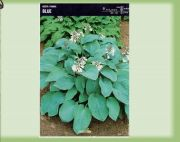 hosta-blue-angel-1-szt.jpg