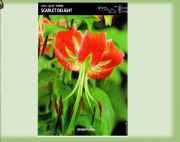 lilia-turkish-cup-scarlet-delight-1szt.jpg