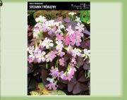 oxalis-triangularis-5-stk-angebot!!!.jpg