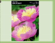 paeonia-pfingstrose-bowl-of-beauty-1-stk-angebot!!!.jpg