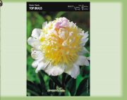 paeonia-pfingstrose-top-brass-1-stk-angebot!!!.jpg