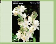 polianthes-tuberosa-1-szt.jpg