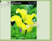 zantedeschia-kalla-black-magic-1-stk.jpg