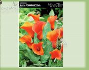zantedeschia-kalla-orange-1-stk.jpg