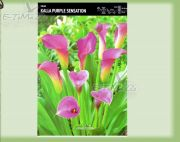 zantedeschia-kalla-purple-sensation-1-stk.jpg