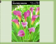 zantedeschia-kalla-purple-sensation-1-szt.jpg