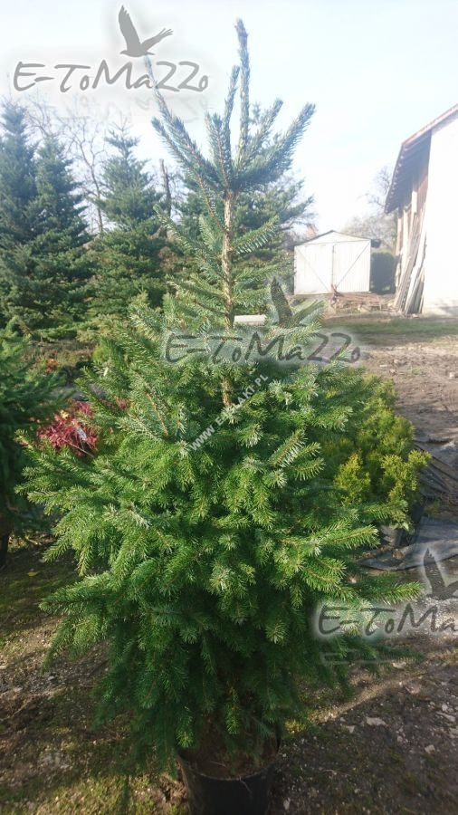 Weihnachtsbaum Kaufen Gütersloh.Fichte Serbische Ein Weihnachtsbaum 160 180 Cm Hecken Pflanzen